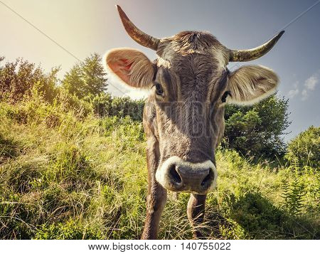 A curious cow on the background alpine meadow