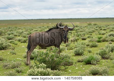 Blue Wildebeest Antelope, Africa