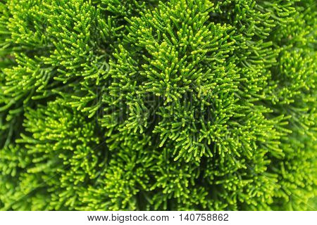 Pattern of beautiful green Chinese Juniper leaves.