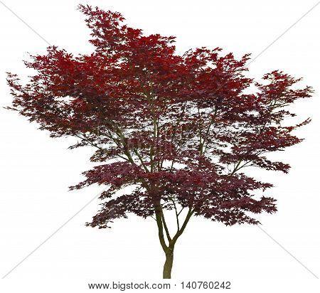 Red Japanese Maple 20 years old Acer palmatum Atropurpureum.