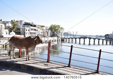 Cow standing on a bridge in Udaipur, Rajasthan, India