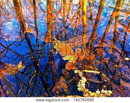 A Bullfrog resting on a glassy pond surface.