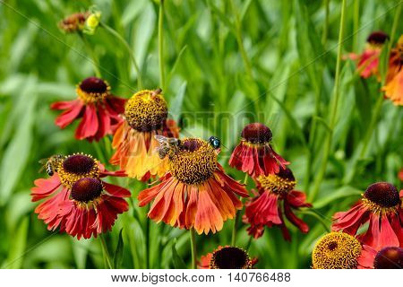 Bees and a shiny green bottle fliy Lucia Sericaca on colorful orange and red helenium flowers