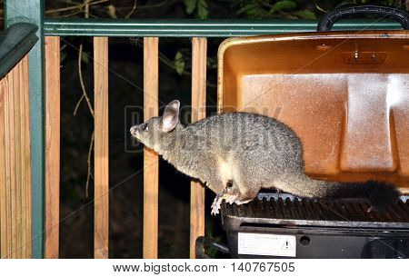 Australian Brushtail possum (Trichosurus vulpecula) sitting on a barbecue (BBQ). Common visitor to Sydney backyards.