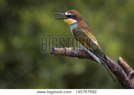 bee eater singing with open mouth on a wood in south africa, wildlife photography
