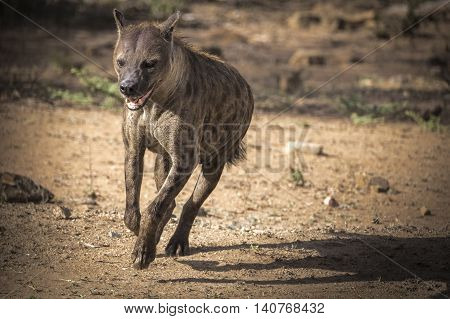 hyena running in wildlife for hunting, south Africa