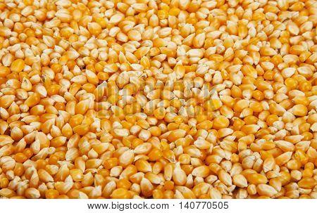 A Bulk of yellow corn grains texture