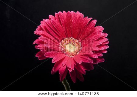 beautiful flower with water dorps in black background