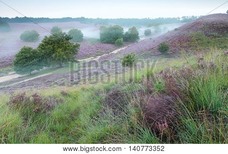 hills with flowering heather and morning fog Posbank Netherlands