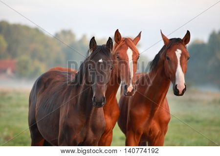 horses on misty summer pasture close up