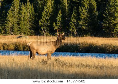 a cow elk standing in a mountain meadow next to a stream