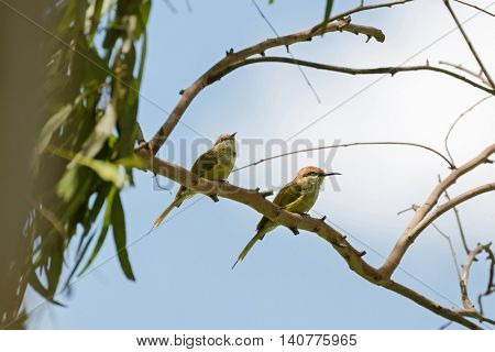 Two Little Green Bee-eater birds in yellow  perching on tree branch during summer in Thailand