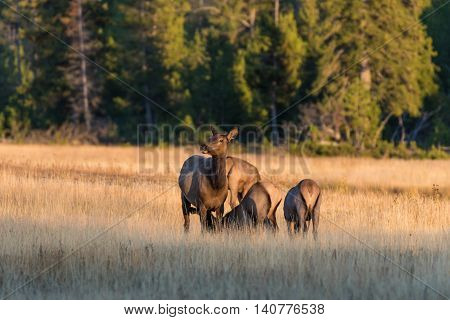 a small herd of cow elk in a meadow