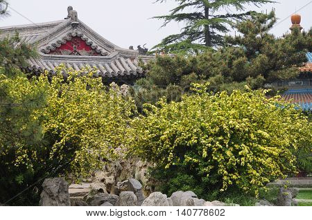 Chinese buildings and yellow flowers on a shrub within a classical garden in Tiantan Park (temple of heaven) in Beijing China.