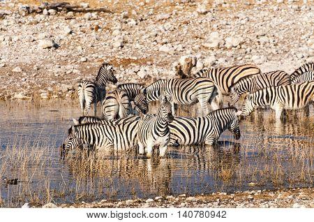 Herd of Zebras in a waterhole in Namibia, Africa