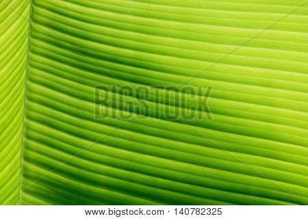 Part Of Banana Leaf Detail Have Hight Light And Shodow For Background Or Design.
