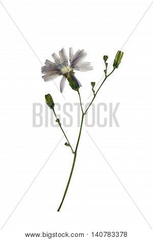 Pressed and dried delicate flower lactuca (lactuca perennis mountain lettuce or blue lettuce) on stem. Isolated on white background. For use in scrapbooking floristry (oshibana) or herbarium.