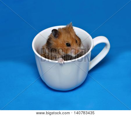 Brown Syrian hamster sitting in a white porcelain cup on a blue background