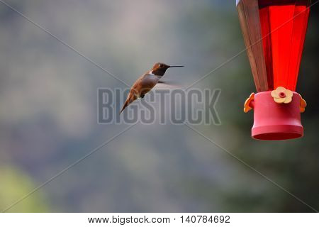 Hummingbird Flies Towards A Feeder of Nectar