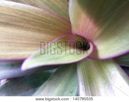 Tradescantia Spathacea (macro Composition)