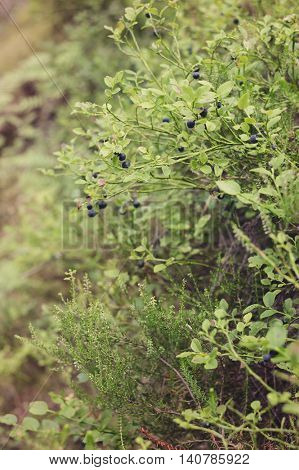 Bilberry bush in forest. Ripe berries on branches close up.