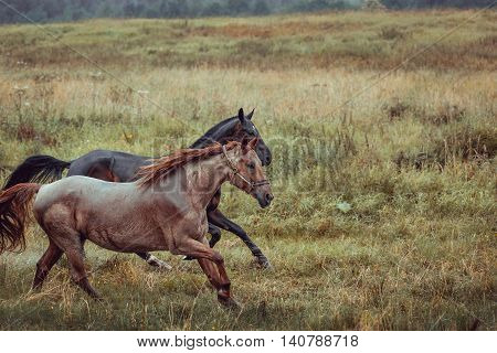 Two horses in the meadow at summer rainy day