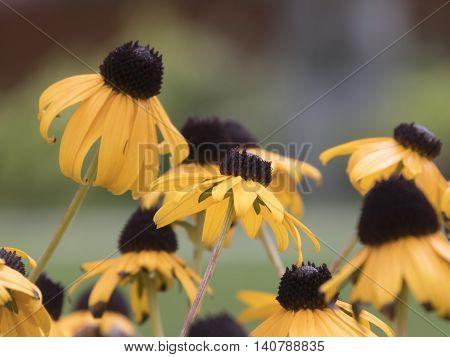Yellow Echinacea In The Garden