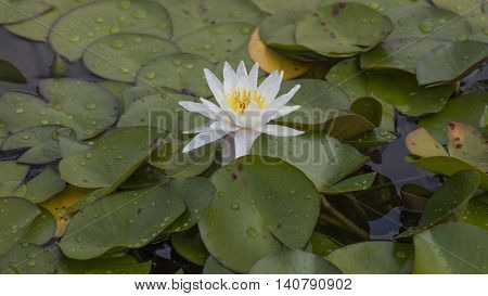 White Waterlily On Water
