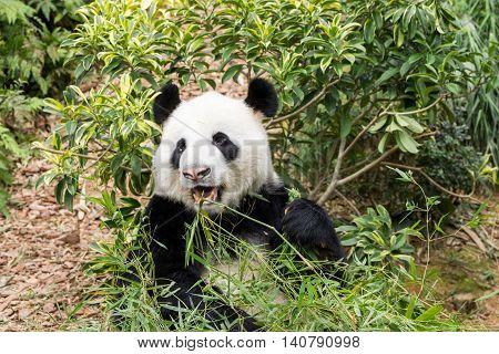 Panda bear eating bamboo and looking happy