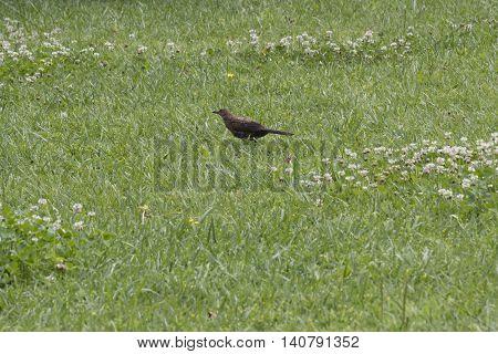 a blackbird on the grass of meadow