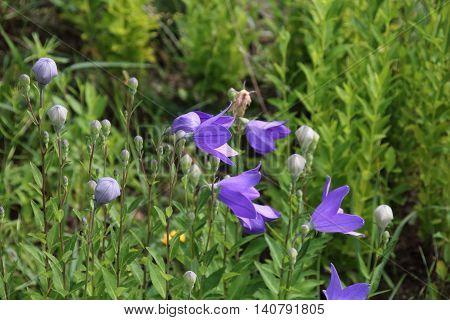 Wild carpathian bellflower Campanula carpatica in a garden meadow in summer