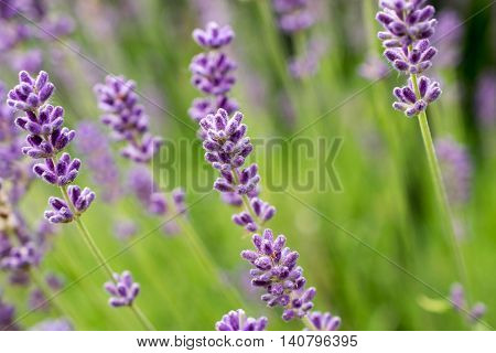 Lavender flowers. Calmness and relaxation. Calmness and relaxation. Perfume and aroma. Photo texture, nature background.