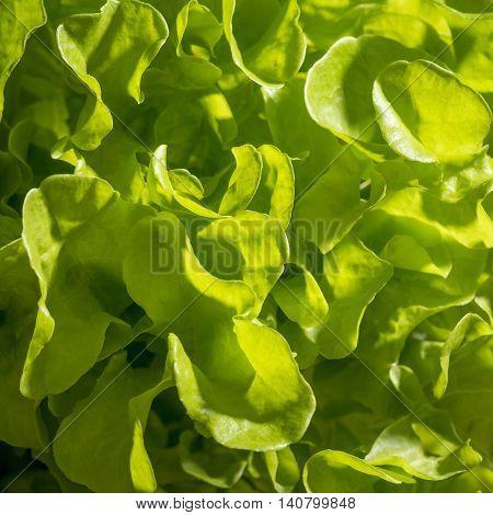 Closeup of green roman lettuce leaves forming wavy pattern