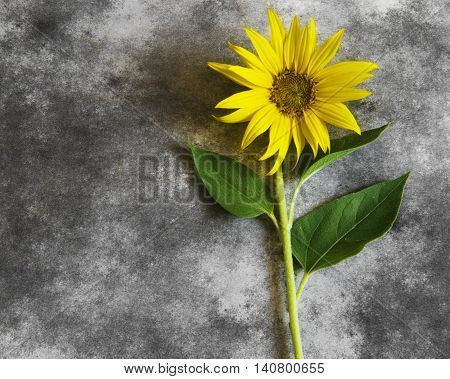 Yellow sunflower in blossom on dark background - condolence card