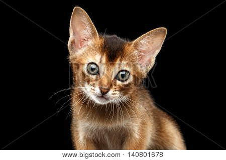 Closeup portrait of Cute Abyssinian Kitty Curious Looking in Camera on Isolated Black Background, Front view, Baby Animal