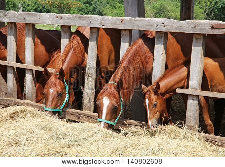 Mares and foals eating grass behind old wooden fence
