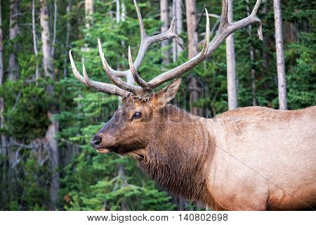 Closeup Of An Elk