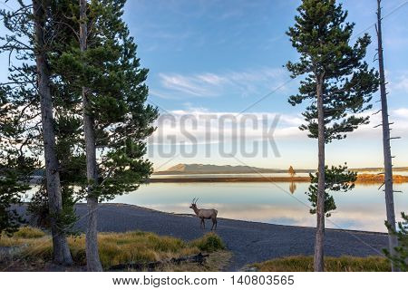 Young Elk And Lake Reflection