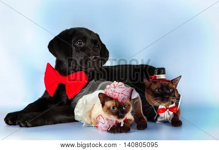 couple of mekong bobtail cats in wedding costumes, groom and bride on blue background.