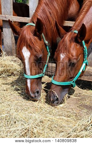 Chesnut horses eat dry hay on farm summertime