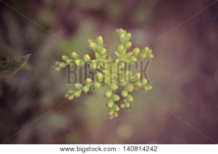 Yellow Flower Sedum Rubrotinctum Or, Pork And Beans , Jelly Bean Plant