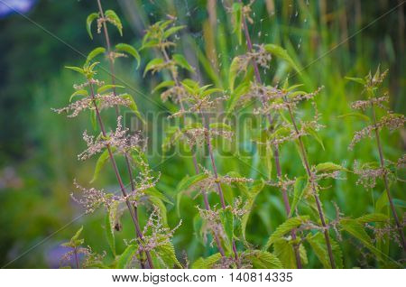 Detail Of Small Nettle With Flowers And Spider's