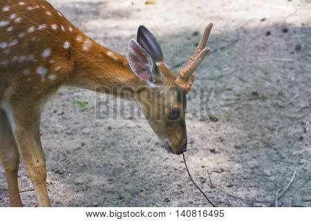 Sika deer - a mammal of the family Oleneva. Animals in the wild.