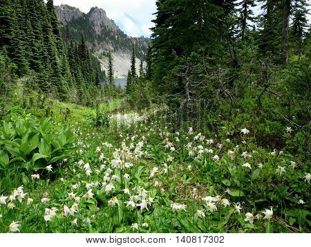 Alpine Scene with Avalanche Lilies at Mount Rainier National Park