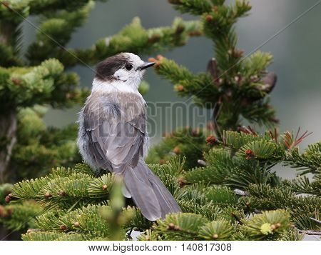 A Gray Jay in a tree at Mount Rainier National park
