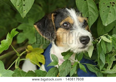 Cute puppy is an adorable little dog out in nature with his face nestled in amongst the leaves.
