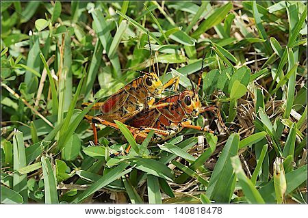 Mating Large Orange Lubber Grasshoppers in the grass