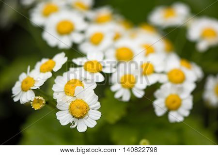 Feverfew (Tanacetum parthenium) in flower. Mass of white and yellows flowers of traditional medicinal herb in the daisy family (Asteraceae)