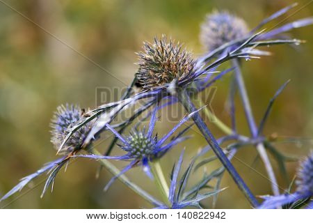 Mediterranean sea holly (Eryngium bourgatii) flowerheads. Spherical blue flowers with spiny bracts of flowering plant in the family Apiaceae