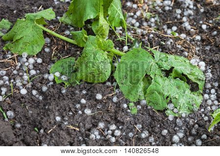 Young plants zucchini closeup damaged by hail